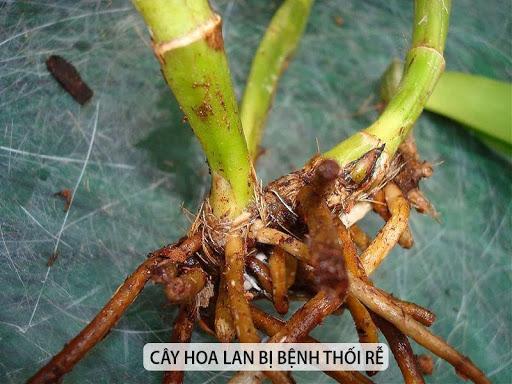 Các loại thuốc trị côn trùng, nấm gây hại cho cây hoa Lan