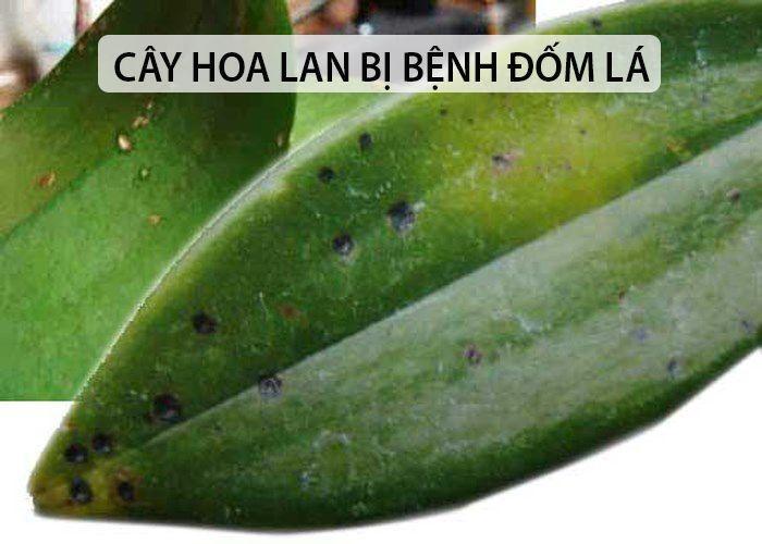 Bệnh đen thân: Zin, Zineb, Carbenzim… Bệnh đốm lá: Cabenzim + Dipamate, Cadilac, Thio – M, Dipomate