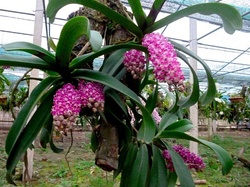 cách trồng và chăm sóc hoa phong lan rừng