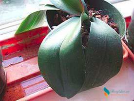 Cách chẩn đoán bệnh cây hoa Phong Lan thông qua lá