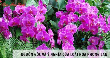 Tìm hiểu nguồn gốc và ý nghĩa của loài hoa Phong Lan