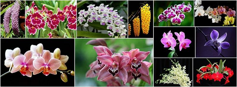 Một số loại hoa phong lan thường gặp