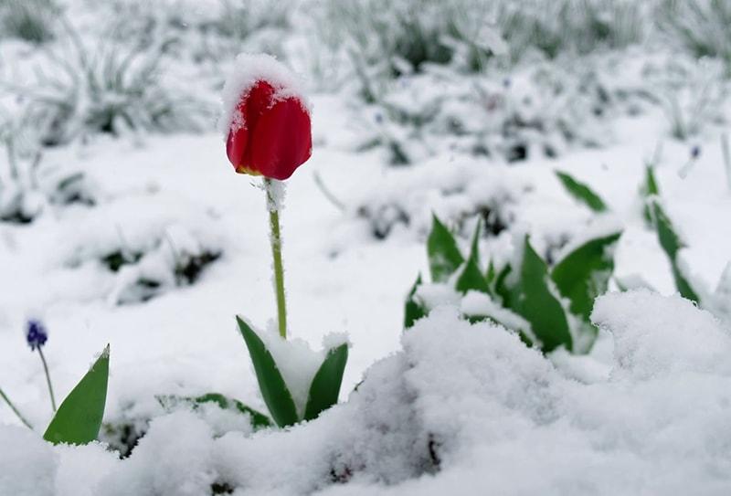 Bông hoa Tulip vươn lên từ trong tuyết