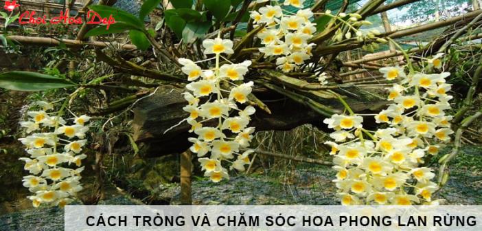 Cách trồng và chăm sóc hoa phong lan rừng mau ra hoa