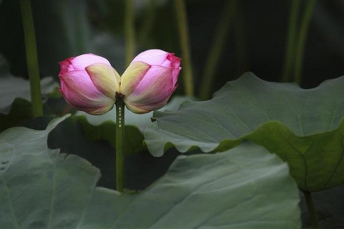 Sự tích loài hoa Sen Tịnh Đế Liên – Loài hoa tiến vua
