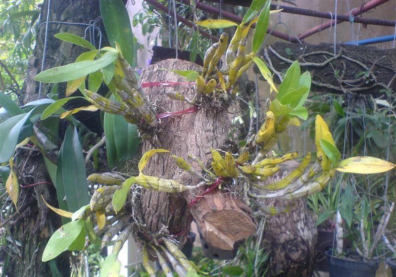 trồng lan cắt cành