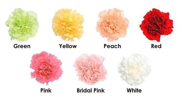 Ý nghĩa của loài hoa cẩm chướng theo màu sắc