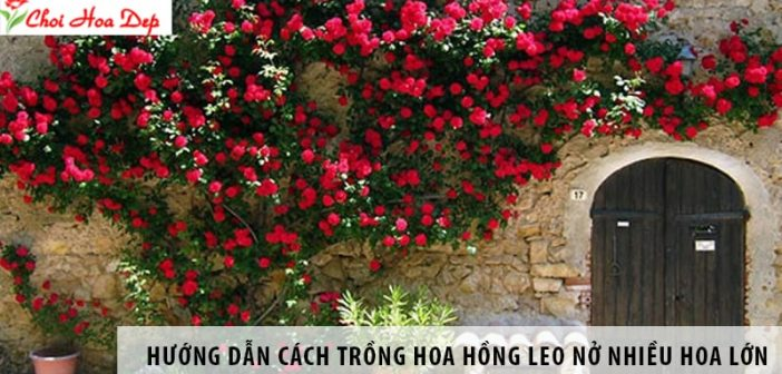 Huong-dan-cach-trong-hoa-hong-leo-no-nhieu-hoa-lon-1
