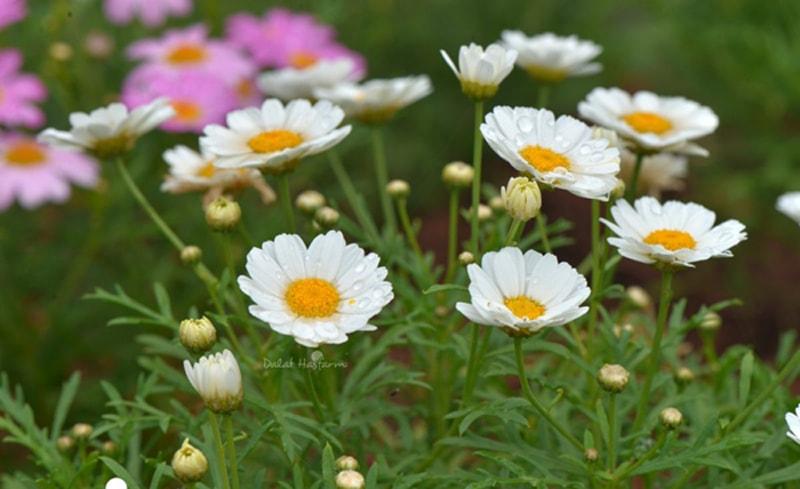 Cúc họa mi nở rộ vào tháng 11, loài hoa gọi mùa đông đến