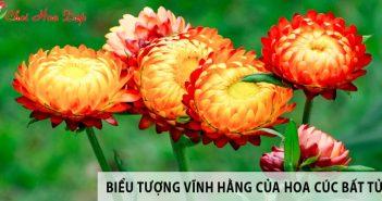 Hoa cúc bất tử - Một biểu tượng cho tình yêu vĩnh hằng