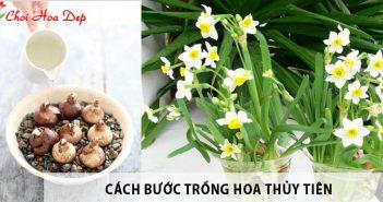 Cách trồng hoa thủy tiên trang trí bàn phòng khách