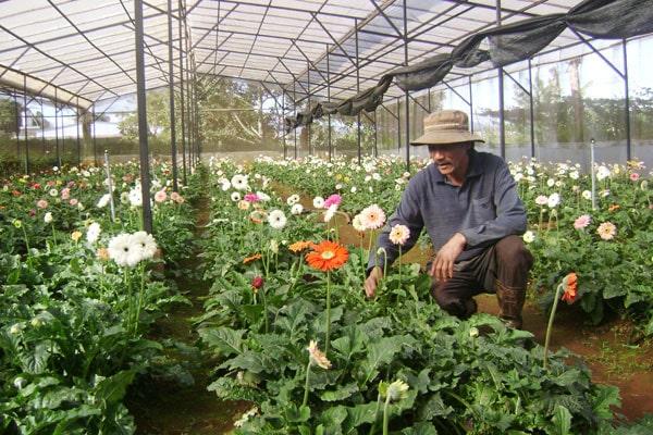 Những lưu ý về yêu cầu kỹ thuật trồng hoa đồng tiền