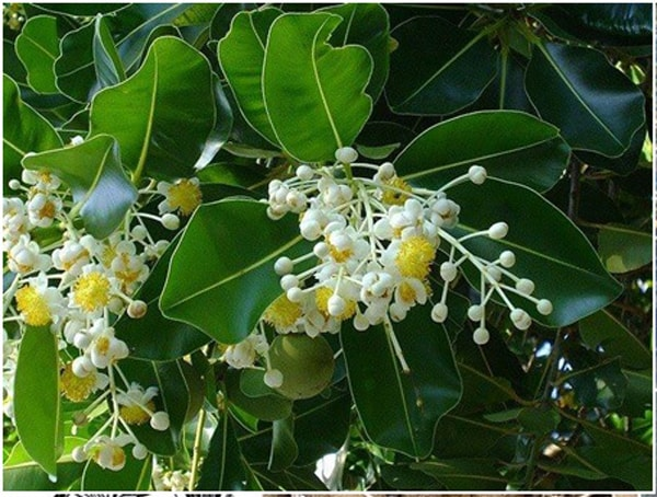 Nguồn gốc và đặc điểm của cây hoa mù u
