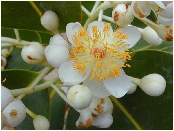 Hoa cây mù u trắng