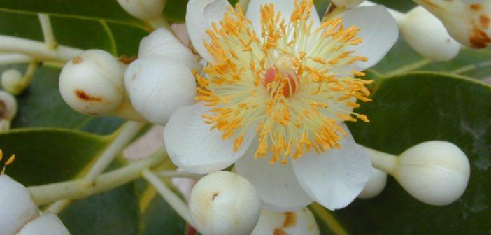 Khám phá ý nghĩa của loài hoa mù u trắng