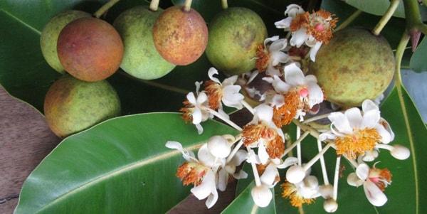 Khám phá ý nghĩa của loài hoa mù u trắng muốt ngọt ngào 1