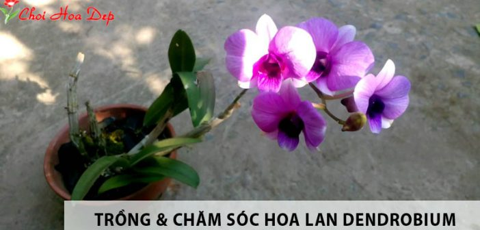 Hoa lan Dendrobium trồng và chăm sóc thế nào?