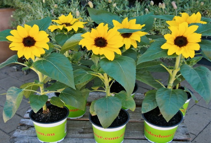 Kỹ thuật trồng và chăm sóc hoa Hướng dương lùn trong chậu