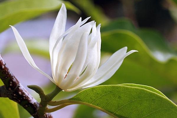 3 lý do nên trồng cây ngọc lan trong vườn