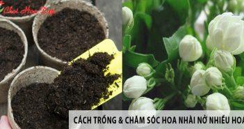 Mách bạn cách trồng và chăm sóc hoa Nhài nở nhiều hoa