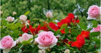 Cách trồng vườn hoa hồng đẹp điểm tô cho ngôi nhà của bạn