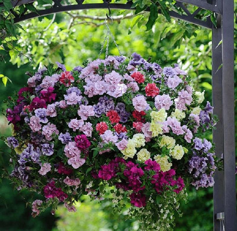trồng hoa dạ yến thảo