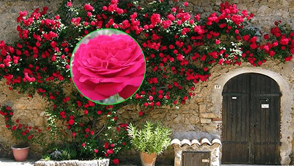 Dàn hoa hồng leo