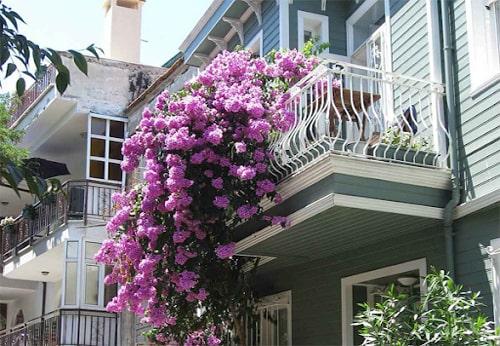 9 loài hoa tô điểm ban công chung cư cực kỳ nổi bật