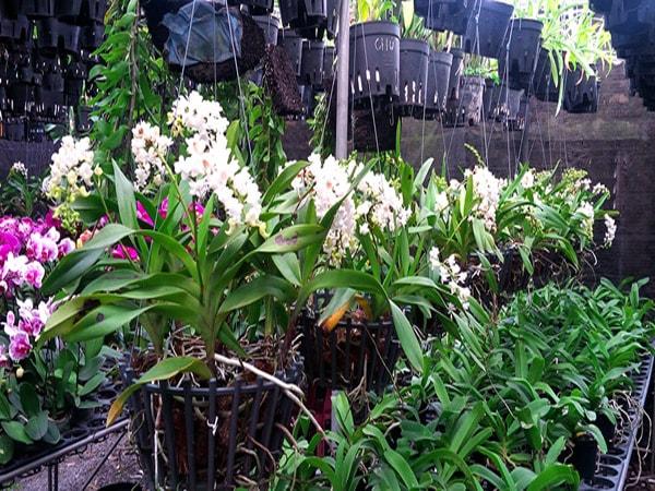 Cách chăm sóc phong lan vào mùa lạnh 1