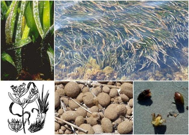 """Quả cỏ biển Posidonia Oceanica thường được gọi là """"oliu biển"""""""