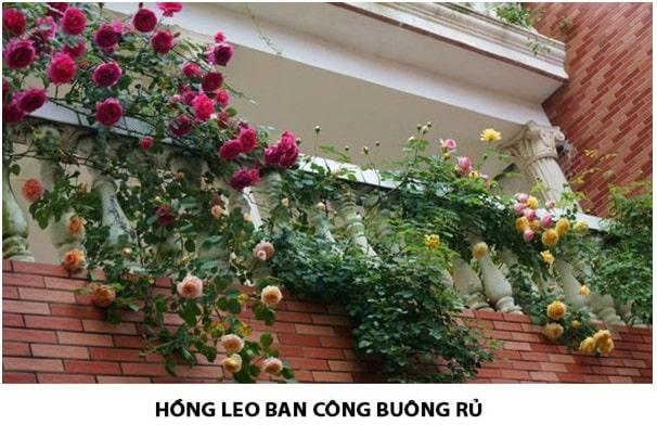 Ưu điểm của hoa hồng leo ngoại với hồng nội