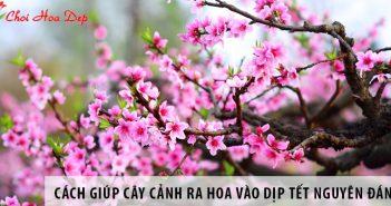 Hướng dẫn cách giúp cây cảnh ra hoa vào dịp Tết Nguyên Đán
