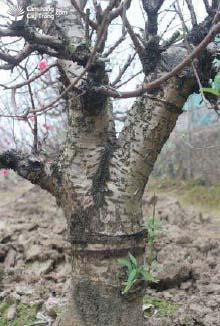 Dùng dao sắc khoanh vòng xung quanh gốc hoặc cành đào