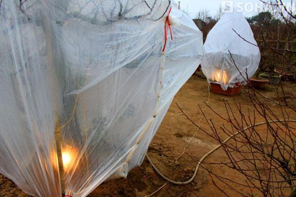 Bọc túi nylon và thắp điện sưởi ấm cho cây đào