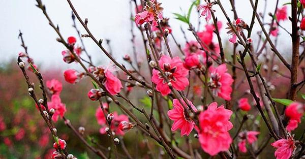 Một cây đào đẹp là nở hoa vào đúng dịp Tết Nguyên Đán