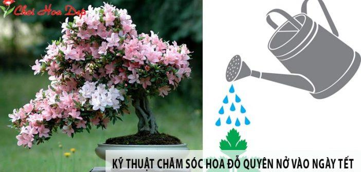 Kỹ thuật tưới nước và bón phân cho hoa Đỗ Quyên ngày Tết