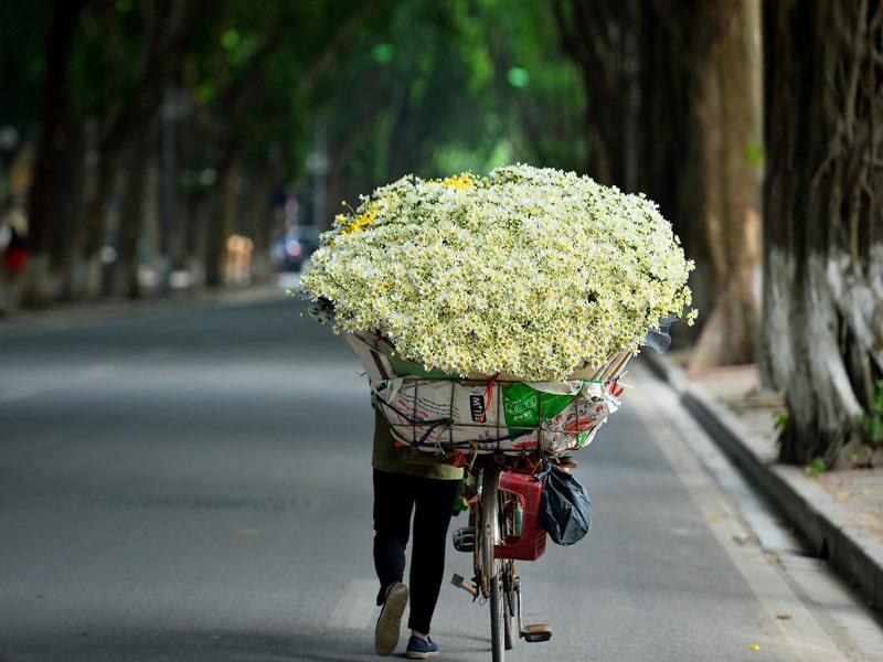 Cúc Họa mi, loại hoa gọi mùa đông đến