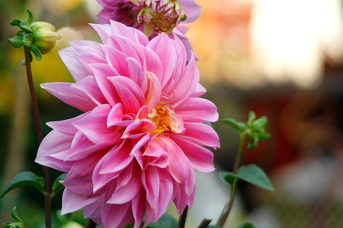 Nghe lại sự tích của loại hoa được mệnh danh là hoa tướng 1