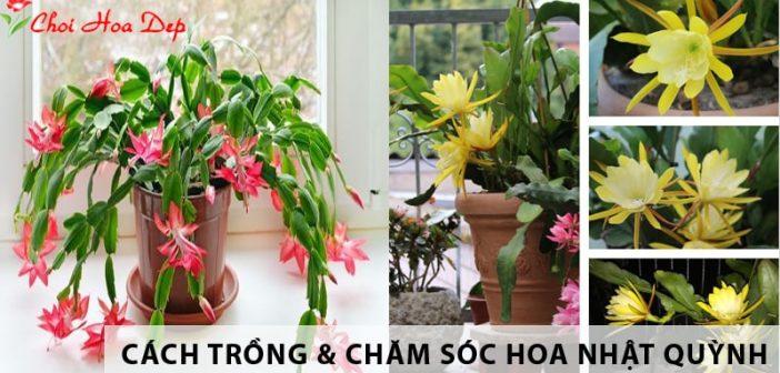Phương pháp trồng & chăm sóc hoa nhật quỳnh đẹp lung linh
