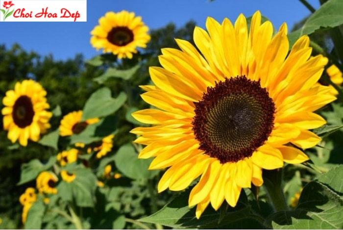 Cách trồng hoa hướng dương đơn giản ai cũng có thể thực hiện