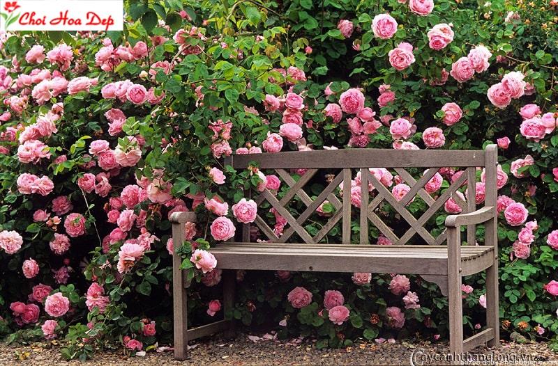 Cách trồng và chăm sóc cây hoa hồng leo cho người mới