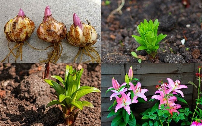 Hướng dẫn cách trồng và chăm sóc cây hoa ly đúng kỹ thuật 2