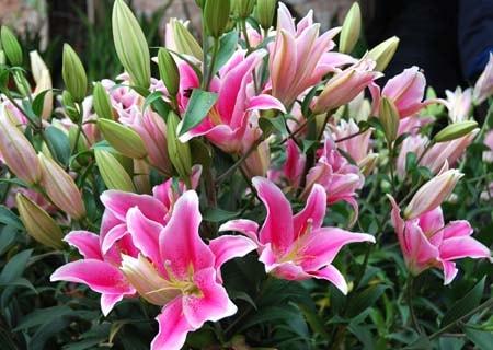 Hướng dẫn cách trồng và chăm sóc cây hoa ly đúng kỹ thuật 1
