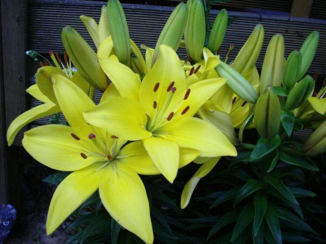 Hướng dẫn cách trồng và chăm sóc cây hoa ly đúng kỹ thuật 5