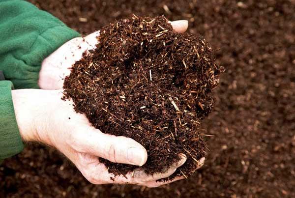 Cây hoa đồng tiền ưa phát triển ở nền đất tơi xốp, độ thoáng cao, nhiều mùn