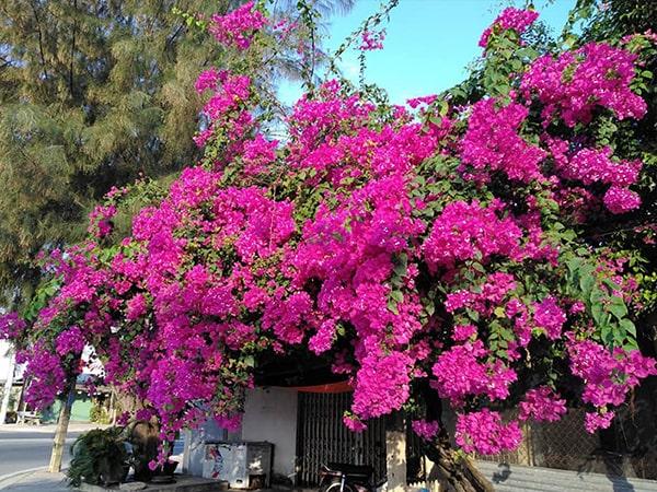 Trồng và chăm sóc cây hoa giấy đúng kỹ thuật cây sẽ ra nhiều hoa và quanh năm