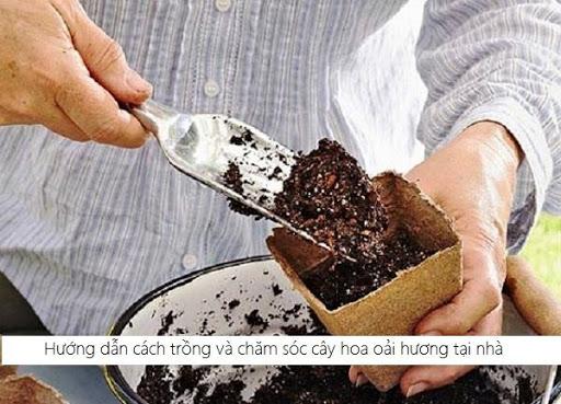 Hướng dẫn cách trồng và chăm sóc cây hoa oải hương tại nhà