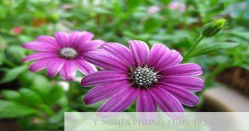 Hoa cúc và ý nghĩa trong phong thủy ít người biết