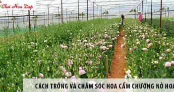 Hướng dẫn cách trồng và chăm sóc hoa cẩm chướng nở hoa