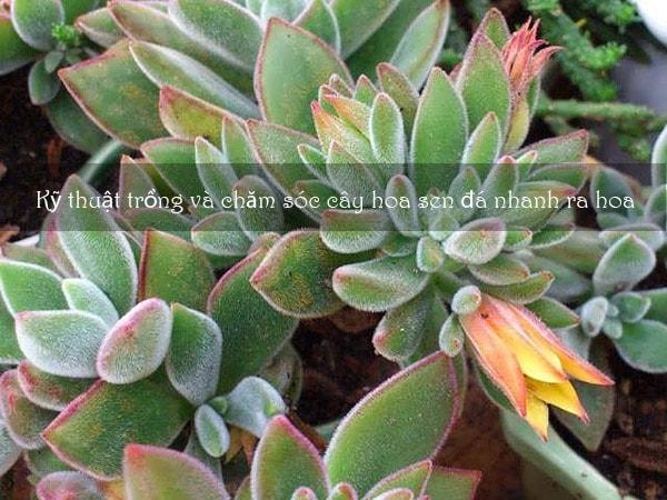 Kỹ thuật trồng và chăm sóc cây hoa sen đá nhanh ra hoa 6
